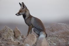 The beauty of the fox. Arabian red fox by Dhahan Hills