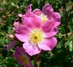chá de rosa mosqueta