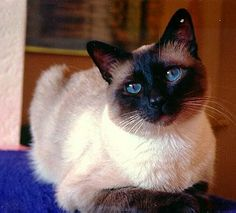 Traditional Siamese Cats | Our family has been breeding Traditional Siamese cats for nearly ...