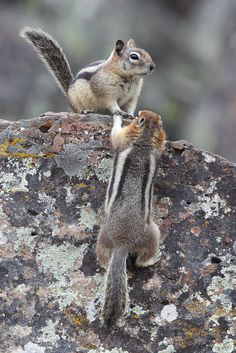 Moss rock and chipmunks!-----also Canuck chipmunks here in BC. Animals Of The World, Animals And Pets, Baby Animals, Funny Animals, Cute Animals, Hamsters, Rodents, Squirrel Pictures, Cute Animal Pictures