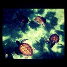 Litle turtles @ xcaret park in mexico