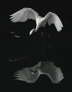 小白鷺.攝於台灣 台北縣坪林  Little Egret, taken at Pinglin, Taipei County, TAIWAN. The still lake reflects the image of the egret like a mirror.