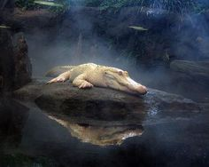 Albino Alligator, named Claude, is the most famous resident of the California Academy of Sciences.