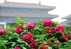 Tháng 4 đến Lạc Dương say trong sắc hoa mẫu đơn,Vé máy bay đi Trung Quốc giá rẻ.Vé máy bay Hà Nội-Sài Gòn đi China.Đại lý Khang Vượng Booking Việt Nam. Liên hệ: Hà Nội:(04)37478953 - HCM:(08)39205999.