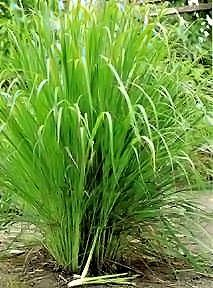 LEMON GRASS - INDIAN HERB - 30 SEEDS Haddons http://www.amazon.co.uk/dp/B001SBEO1G/ref=cm_sw_r_pi_dp_fF1qwb0SYEAA5