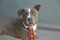 ~~GORGEOUS 8  MONTH OLD PUPPY TO BE DESTROYED 7/28/14~~lw~ Brooklyn Center -P  My name is CASTRO. My Animal ID # is A1006957. I am a male gray am pit bull ter mix. The shelter thinks I am about 8 MONTHS old.  I came in the shelter as a OWNER SUR on 07/16/2014 from NY 11413, owner surrender reason stated was TOO HYPER.
