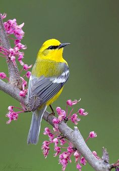 Blue-winged Warbler (Vermivora cyanoptera). A North American songbird. photo: Matthew Studebaker.