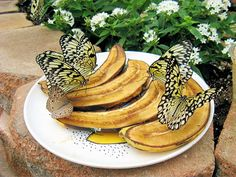 The Butterfly House in Whitehouse, Ohio(You really must read about this) Clean sponges soaked in sugar water...ripe banana..who knew? Not me!