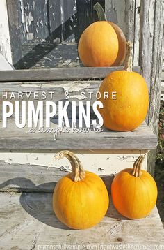 If you're growing pumpkins for the first time, you need this simple tutorial showing how to harvest and store a pumpkin from start to finish. We normally go to a farm for the big pumpkins, but like to grow our own baking pumpkins for homemade pumpkin pie from scratch. This easy DIY will show you how to pick a pumpkin, how to store it long term and what to do to ensure it doesn't go bad before you're ready to use it! :: DontWastetheCrumbs.com