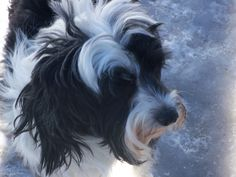 Introducing Liza Doolittle she is our other Tibetan Terrier...what a Love!