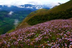 Neelakurinji, is a blue flower (blueish purple sometimes, but mostly blue)that blooms only once every 12 years in kerala, kinda like a way more waited Texas bluebonnets