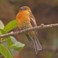 Cinnamon Flycatcher (Pyrrhomyias cinnamomeus) is the only member of the genus Pyrrhomyias. It is found in Argentina, Bolivia, Colombia, Ecuador, Peru, & Venezuela