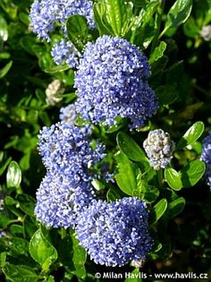 California Lilac (ceanothus), saw a number of these at the botanical garden today, must plant some on the hillside. drought tolerant as well!