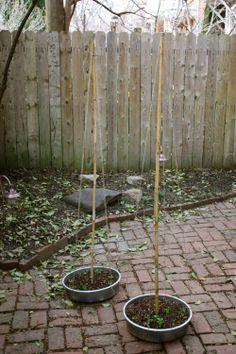 DIY Bean Teepee Garden Supports