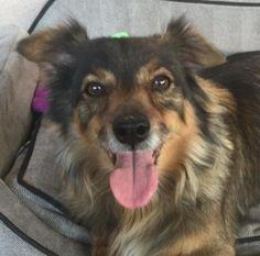 Bennie is a male Shetland Sheepdog/ Chihuahua mix available at Pet Adoption Fund, Canoga Park, CA.