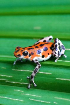 """Oophaga pumilio """"Bastimentos"""" some day it will be mine Strawberry Poison Dart Frog, Frosch Illustration, Frog Habitat, Amazing Frog, Awesome, Pet Frogs, Poison Dart Frogs, Funny Frogs, Paludarium"""
