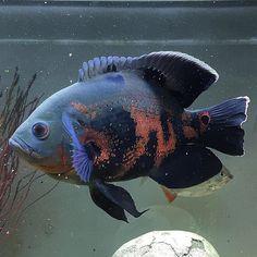 "OSCAR FISH BRAZIL on Instagram: ""Oscar fish lovers! 🖤❤️ Thank you! 📷 @lukes_aquatics 🐟 🐟 🇧🇷 Oscar Fish Brazil 🇧🇷🐟❤️🐟 🐟 Follow 🐟 @oscarfishbrazil 🐟 Partnership 🐟…"" Oscar Fish, Freshwater Aquarium Fish, Cichlids, Tropical Fish, Marine Life, Fish Tank, Fresh Water, Brazil, Lovers"
