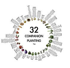 Planning your spring garden? Here's a handy chart to help guide you in the ins and outs of companion planting from {communicatecreative}!