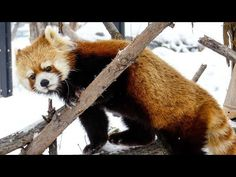 Over 300 videos of the 6 red pandas at the Maruyama Zoo. They are the twin brothers Kin & Gin and ladies Seita, Eita, and Coco, and Coco's son Hokuto. Red pandas LOVE APPLES.