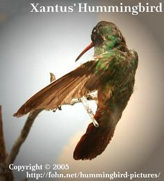 2xantus-hummingbird.jpg