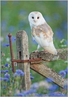 Owl Perched on Farm Gate -
