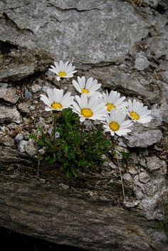 ❤Daisies Белые Цветы, Красивые Цветы, Сады, Удивительная Природа, Экзотические Цветы, Мать Природа, Водный Сад, Дикие Цветы, Ландшафт