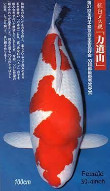 Image result for koi grand champion Koi Fish Pond, Koi Carp, Koi Ponds, Animals And Pets, Cute Animals, Otters Cute, Carpe Koi, Salt Water Fish, Japanese Koi