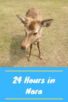 Do you want to spend 24 hours in Nara, Japan? We will dine on Japanese food, meet the sacred deer, and visit the most interesting temples and shrines. Japan Travel Tips, Tokyo Travel, Asia Travel, Travel Usa, Travel Guide, Kasuga Grand Shrine, Fun Restaurants In Nyc, Cheap Places To Visit, International Travel Tips