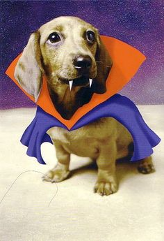 This dachshund costume ins a Dachshund Dracula you can DIY Dachshund Costume, Dachshund Funny, Dachshund Love, Funny Dogs, Funny Animals, Cute Animals, Daschund, Dapple Dachshund, Dachshund Puppies