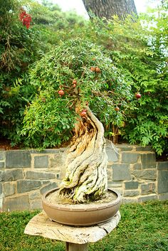 pomegranate bonsai | Pomegranate bonsai tree | Flickr - Photo Sharing!