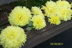 too heavy to hold their heads up....beautiful dahlias