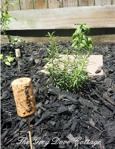 Rosemary planted in the herb garden, with cork and skewer marker