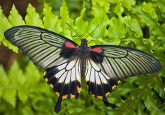 Papilio_memnon2.jpg (3344×2348)