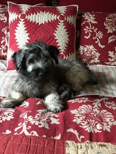 Bobby, precious 14 week old Skye Terrier puppy named for the legendary Greyfriars Bobby!