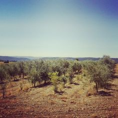 Olive Trees - #Provence  #Instagram #travel