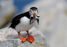 atlantic puffin | atlantic puffin machais seal island maine a two and a half hour trip ...