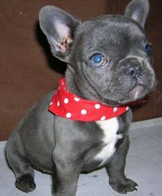 Blue French Bulldog | Hunde Blue French Bulldog Puppie Kleinanzeigen Immobilien ...