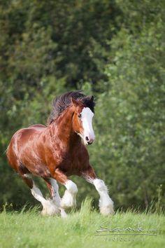 Clydesdale stallion Cedarlane Thunder