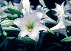 Tipos de lirios - Hogarutil L Sterling Star, lirio compacto prefecto para macetas, con flores de color blanco nive arqueadas hacia arriba y aroma sutil.