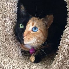 Cat Heterochromia is a genetic trait that, depending on the creature it happens in, can be due to inbreeding, genetic inheritance or mutation. In some breeds of cats, like the Turkish Angora, heterochromia is a desirable trait that breeders try to maintain.