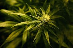 Ele & Elis Blog: US Government admits that Cannabis kills cancer ce...