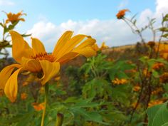 Soe, East Nusa Tenggara, Indonesia. This photo taken in June 2014. Wild flowers greets everyone entering the city because there are along the way. Hearts was so quiet at the sight of these wild flo...