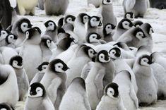 赤ちゃんペンギンのモフモフ画像集