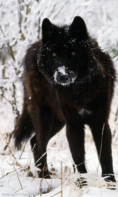 There's just something about black wolves ♥ ...........click here to find out…