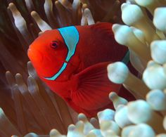 the maroon anemonefish, Premnas biaculeatus, Bunt, Stripes, Clownfish, Anemones, Red, Animals, Color, Life, Animales