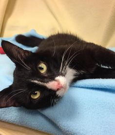 Skidz is a one-year-old, medium-haired, black and white male kitty. He came to the shelter with a severe scrape along his side, which the vet feels most likely occurred from being hit by a car and dragged along the road. He has been very cooperative while our shelter staff treats the wound and he has quickly come to realize that he likes living the life of an indoor kitty! He is super friendly and enjoys being pet ... he will even roll over so you can rub his belly! Skidz is neutered, up to…