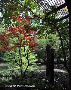 Japanese maple. Austin Open Days Tour 2012: Rockcliff Road Garden | Digging