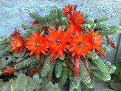 Echinopsis chamaecereus - Chamaecereus silvestrii