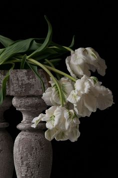 White parrot tulips - planted with Viola 'Marina' White Tulips, Tulips Flowers, White Flowers, Beautiful Flowers, Art Floral, Floral Photography, Fine Art Photography, Parrot Tulips, White Gardens