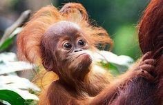 Palm oil production is destroying the forests of Sumatra. And if we don't act soon to save the forests, Sumatran orangutans may no longer exist.